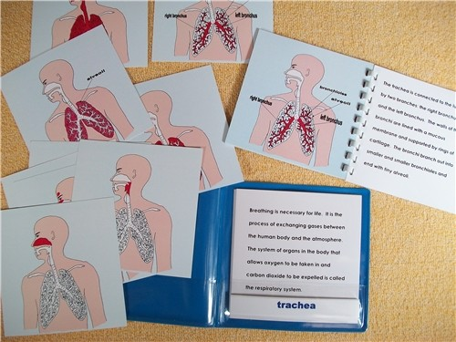 RESPIRATORY SYSTEM NOMENCLATURE EXERCISE ● SC-A48  DISCOUNTED