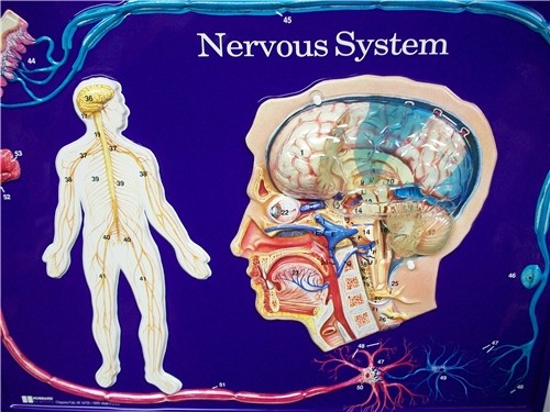NERVOUS SYSTEM MODEL ● SCIENCE-A46
