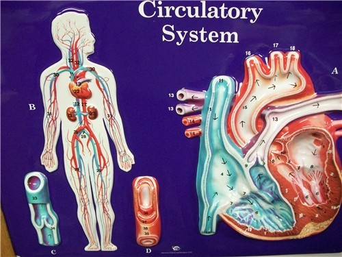 CIRCULATORY SYSTEM MODEL ● SCIENCE-A49