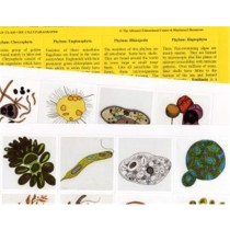 PROTOCTISTA Set of 18 Pictures & Paragraphs only ● CL-620-D