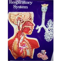 RESPIRATORY SYSTEM MODEL ● SCIENCE-A48