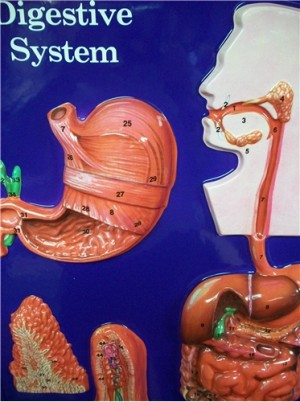 DIGESTIVE SYSTEM MODEL ● SCIENCE-A44